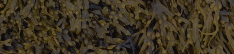 Zastosowanie morszczynu pęcherzykowatego